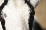 Auge in Auge mit einer Ziege