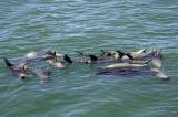 A Raft of Seals