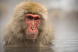 Japanese Macaque in Onsen