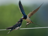 Swallows feeding 3 of 3