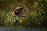 Osprey with Trout II