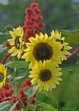 20080916 078 Sunflowers.jpg