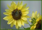 20080916 121 Sunflower.jpg