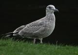 20080923 273 Herring Gull ( juv).jpg