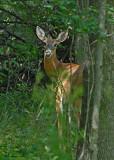 20080817 D200 012 Deer.jpg