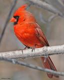 20080403 095 Northern Cardinal (male) SERIES.jpg