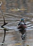 20081027 178 Wood Duck (male).jpg