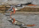 20081107 019 Red-breastedMerganser (female) SERIES.jpg