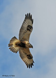 20081119 387 Rough-legged Hawk SERIES.jpg