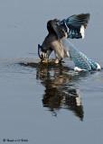 20081108 127 Blue Jay SERIES.jpg