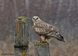20081117 089 Rough-legged Hawk.jpg