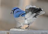 20081121 067 Blue Jay.jpg
