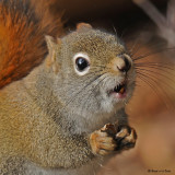 20081121 010 Red Squirrel.jpg