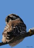 20081208 730 Northern Hawk Owl.jpg