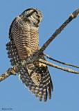 20081208 217 Northern Hawk Owl.jpg