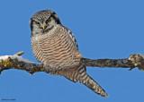 20081208 436 Northern Hawk Owl SERIES.jpg