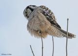 20081216 481 Northern Hawk Owl SERIES.jpg