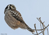 20081216 290 Northern Hawk Owl - SERIES.jpg
