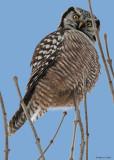 20081213 160 Northern Hawk Owl.jpg