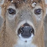 20081218 015 White-tailed Deer - SERIES.jpg