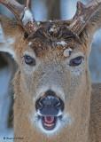 20081218 143 White-tailed Deer - SERIES.jpg