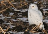 20090106 164 Snowy Owl.jpg