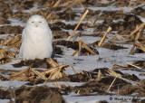 20090106 068 Snowy Owl.jpg