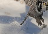 20090112 277 Northern Hawk Owl.jpg