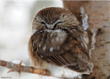 20090119 026 Northern Saw-whet Owl - SERIES.jpg