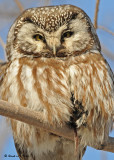 20090127 228 Boreal Owl - SERIES.jpg