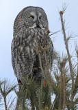 20090126 399 Great Gray Owl - SERIES.jpg