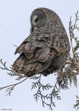20090126 494 Great Gray Owl - SERIES.jpg