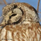 20090127 175 Boreal Owl - SERIES.jpg