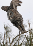 20090126 413 Great Gray Owl.jpg