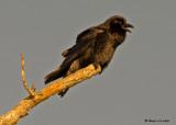20090115 105 Common Raven - SERIES .jpg