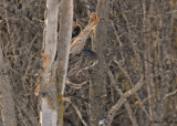 20090202 003 Great Gray Owl - SERIES.jpg
