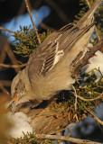 20090110 309 Northern Mockingbird.jpg