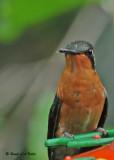 20090212 CR # 1 025 Cinnamon Hummingbird SERIES.jpg