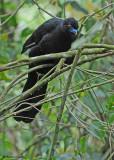20090212 CR # 1 437 Black Guan.jpg