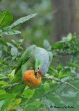 20090212 CR # 1 1832 Red-lored Parrot.jpg