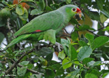 20090212 CR # 1 1860 Red-lored Parrot.jpg