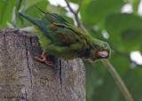 20090212 CR  2 210 Orange-chinned Parakeet.jpg