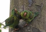 20090212 CR  2 243 Orange-chinned Parakeets.jpg