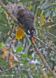 20090212 CR # 1 1496 Oropendolas Montezuma.jpg