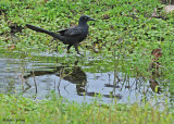 20090212 CR  2 303 Great-tailed Grackle.jpg