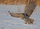 20090224 174 Great Gray Owl.jpg