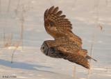 20090224 085 Great Gray Owl - SERIES.jpg