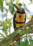 20090212 CR # 1 1367 Collared Aracari SERIES.jpg