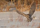 20090224 148 Great Gray Owl.jpg