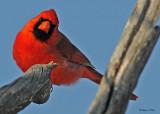 20080324 008 Cardinal (male).jpg